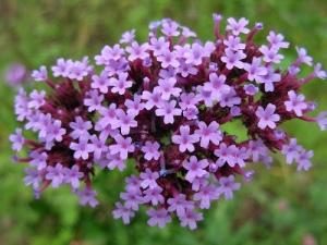 fiori-di-bach-1
