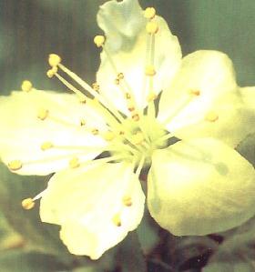 fiori_di_bach_2